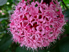 Clerodendrum bungei (yewchan) Tags: flowers roses flower nature colors beautiful beauty closeup garden flora colours gardening vibrant blossoms blooms lovely clerodendrum cashmerebouquet roseglorybower clerodendumbungei