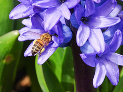 DSC07160 (hoppala2710) Tags: honigbiene honeybee tiefenschrfe