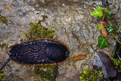 baboseando (Juan Ig. Llana) Tags: macro hojas zb bicho euskadi jardnbotnico lava santacatalina babosa humedad limaco trespuentes