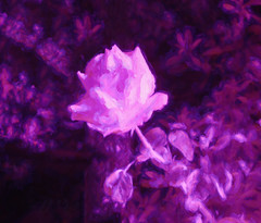 Roses Are InfraRed (Steve Taylor (Photography)) Tags: pink newzealand christchurch flower art texture rose digital purple canterbury lilac nz infrared mauve southisland monocolor monocolour northnewbrighton