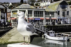 Have you got my right side? (Elaine 55.) Tags: cornwall harbour seagull padstow