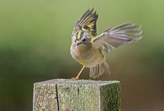 JWL4238  Goldcrest.... (jefflack Wildlife&Nature) Tags: nature birds forest countryside woodlands wildlife wetlands avian warbler goldcrest songbirds gardenbirds wildbirds warblers
