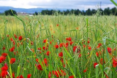 Drme, Chabeuil (David Miocne) Tags: flowers flores nature field feld blumen campo fiore bloemen champ coquelicots
