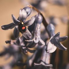 insecte (3 sur 12) (Fabienne Flouret) Tags: macro nature printemps coccinelle fabiennebenard