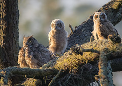 Mother - Protector | Posturing Great Horned Owl and Owlets (edcandy86) Tags: trees spring landscape owl nature bird forest nest sanfrancisco goldengatepark owlets california greathornedowl