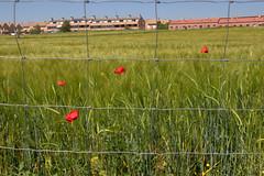 Las afueras de Valdemoro (M. Martin Vicente) Tags: mayo cereales lasafuerasdevaldemoro