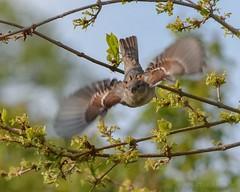 Bird in flight..!! (katjakarumoholm) Tags: sky bird nature inflight wings nikon natur fgel vingar