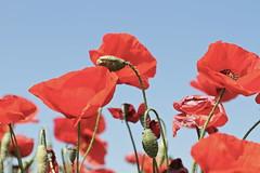 Rosella (Carme Carles) Tags: poppies rosella amapolas