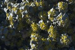 Roundleaf Buffaloberry (Jeff Mitton) Tags: wondersofnature shepherdiarotundifolia earthnaturelife roundelaybuffaloberry