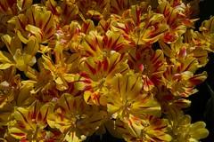 DSC_4222 (Copy) (pandjt) Tags: ca flowers canada bc britishcolumbia tulip abbotsford tulipfestival abbotsfordtulipfestival