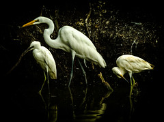 And then it begins (enorte2001) Tags: fishing egrets ernestonortecom