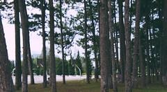 DSC04233 (Ngcson) Tags: monochrome pine sunflower lantern gloaming toyphotographer