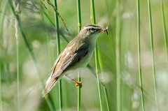 Sedge Warbler with Insect Catch (phat5toe) Tags: nature birds reeds insect nikon wildlife feathers avian wigan flashes sedgewarbler greenheart d7000 sigma150500 acrocephalusschoenbaenus