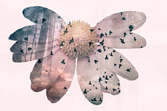 This and more for sale, link below (Dra B.) Tags: life pink summer flower cute art nature photoshop outside outdoors photo big nice pretty power doubleexposure