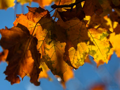 Last of Autumns Splendours (Jocey K) Tags: autumn newzealand christchurch leaves may monavale
