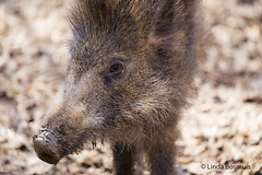 H Who are you..... (lindabosmuis) Tags: wild animal canon germany wilde boar dier 100400mm 6d wildpark zwijn everzwijn natuurpark pelm