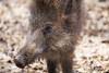 Hé Who are you..... (lindabosmuis) Tags: wild animal canon germany wilde boar dier 100400mm 6d wildpark zwijn everzwijn natuurpark pelm