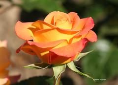 01-IMG_4209 (hemingwayfoto) Tags: australiangold beetrose blhen blte blume botanik duftend facebook facebooktt flickr flora gelb knipskiste pflanze rose rosengewchs stadtpark