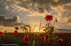 Poppy field sunset (Explored #15 / June 21, 2016) (MichikoSmith) Tags: uk sunset red summer england sun plant west flower green field canon eos gold warm shine yorkshire poppy poppies wakefield walton 6d