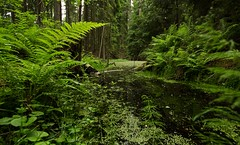 Grner Sumpf (Stephanie Mnner Photography) Tags: canon wasser outdoor pflanze teich landschaft wald bume baum farn weitwinkel sumpf
