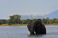 10074774 (wolfgangkaehler) Tags: africa elephant water river mammal nationalpark african wildlife bull bulls malawi bathing riverbank mammals africanelephant maleanimal malawian liwondenationalpark shireriver africanelephantloxodontaafricana