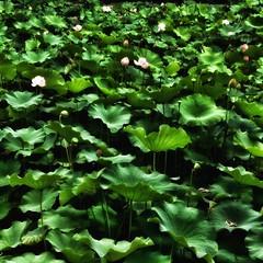 Lotus (YUKARITAKAMURA) Tags: plant green texture nature lotus outdoor  greem  ipadmini
