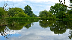 CROFT CASTLE PARKLAND (chris .p) Tags: uk summer england lake reflection june swan nikon view scene swans croft nationaltrust 2016 d610