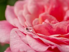 Raindrop and Rose (Shannonsong) Tags: pink flower nature rain rose garden petals blossom rosa drop bloom raindrop