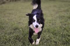 Lengua afuera  (camiloriosg) Tags: chile dog lenny perros bordercollie mascotas osorno doglover