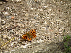 IMG_9858 (ivstargazer) Tags: road summer orange butterfly peaceful ground bulgaria maro