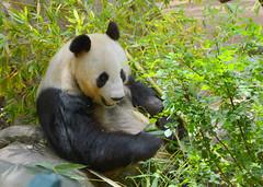 DSC_0602 (Eleu Tabares) Tags: california wild animal giant zoo panda sandiego outdoor wildlife