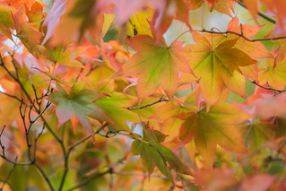 Fall Maple middle depth focus for sharpness