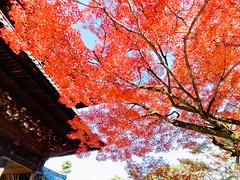 () Tags: japan temple maple kyoto olympus   zuiko e30  918