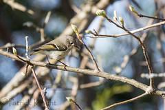 _MG_0814.jpg (pknight45) Tags: birds places rubycrownedkinglet bakerwetlands