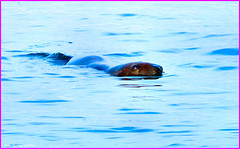 Scotland Greenock it's winter and the river Clyde is cold and the brown seals are here 21 November 2014 pic 1 by Anne MacKay (Anne MacKay images of interest & wonder) Tags: november winter brown by river anne scotland clyde greenock 21 picture seals mackay 2014