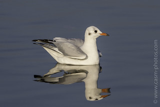 Black-headed gull - Corsham Court, Wiltshire.