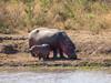 Mother with calf (jaffles) Tags: nature beautiful southafrica wildlife natur olympus safari np südafrika kruger krugernp