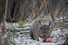 Lynx II (Chabot | Photo) Tags: wildlife yukon lynx