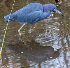 _AAB7147.jpg (Lake Worth) Tags: bird nature birds animal animals canon wings florida wildlife feathers wetlands everglades waterbirds southflorida 2xextender sigma120300f28dgoshsmsports