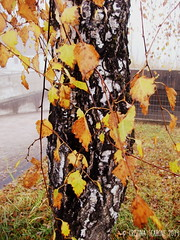 Contrasto tronco (Pelle&Calamaio) Tags: autumn italy mountain fall colors rain fog clouds italia autumnleaves autunno montagna brescia autumntrees pontedilegno lovelyweather welcomeautumn autumnsmell benvenutoautunno