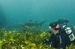 Oh That Shark (Jim Dodd UW Photography) Tags: shark underwater scuba diving scubadiving broughton nelsonbay portstephens underwaterphotography gns northrock greynurse sharkdiving greynurseshark uwphotography broughtonisland jimdodd jimdoddunderwaterphotography