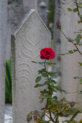Rose and grave in the cemetery of the Sulemaniye Mosque (Luke Robinson) Tags: rose turkey religious muslim islam religion redrose istanbul mosque masjid islamic camii 2014 sulemaniye sulemaniyecamii sulemaniyemosque