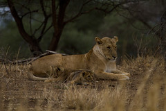 Lion with cubs- Panthera leo (StoufferLSU) Tags: tanzania lion mammals africanlion pantheraleo felidae tarangirenationalpark