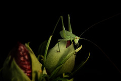 Green on black (Michel Couprie) Tags: black flower macro green nature animal canon insect eos 7d grasshopper michel chiaroscuro couprie ef100f28lismacro