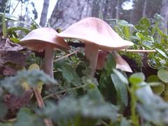 Little mushrooms (Cookiepuki) Tags: leaves mushrooms natur grn pilze wald bltter baum pilz naturell
