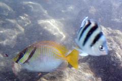 pencilstreaked rabbitfish Siganus doliatus