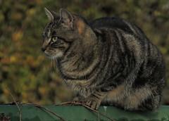 la pense si loin (laetitiablabla) Tags: cats france animal cat chat burgundy magic group gato forever bourgogne felin yonne mammifere