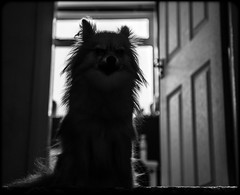 Boo the Pomeranian. (CWhatPhotos) Tags: pictures camera shadow portrait dog pet brown 3 cute animal silhouette digital dark hair that lens photography eos lights three pom high eyes sitting foto with shot image artistic pics dwarf mark sandy iii picture silhouettes down pic images highlights boo have photographs photograph fotos sit pomeranian which spitz silhouetted mk contain highlighted pompom lighted lseries 24105mm zwergspitz canpn cwhatphotos ldlportraits thelittledoglaughedportraits ldlnoir dwarfspitz