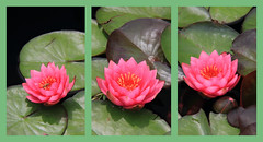 #LPTG14WK51 TRIPTYCH (Michelle Vinnacombe) Tags: pink flowers triptych lilies lilypads longwoodgardens lptg14wk51