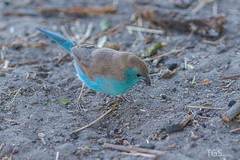 Small Colorful Birdie (TGSnapshot) Tags: africa portrait bird nature animal animals photography tiere nikon fotografie wildlife natur porträt safari afrika botswana vogel bluewaxbill chobenationalpark wildtiere botsuana d7100 tillschröder